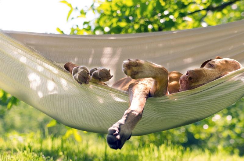 Dog sleep in the summer garden and enjoy hammock.