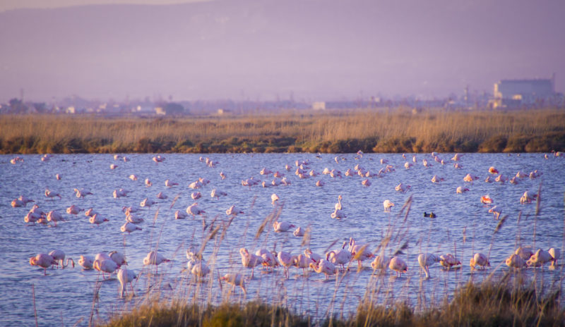 flamingos in the Ebro Delta Natural Park, Spain. Sunset time